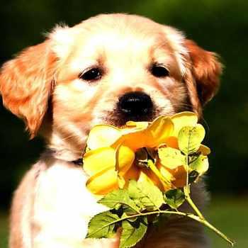 Golden Retriever Puppies Under 300 Dollars