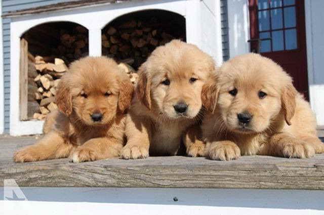 Golden Retriever Puppies Vt