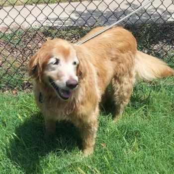 Golden Retriever Rescue North Texas