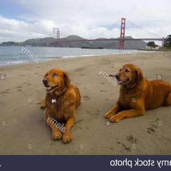 Golden Retriever San Francisco
