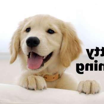 Golden Retriever Training Puppies