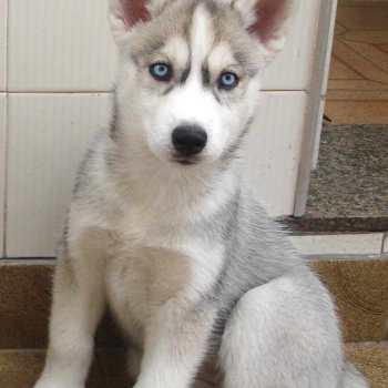 Gray And White Siberian Husky