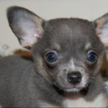 Gray Chihuahua Puppies For Sale
