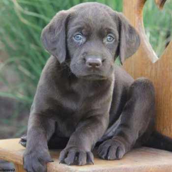 Gray Labrador For Sale