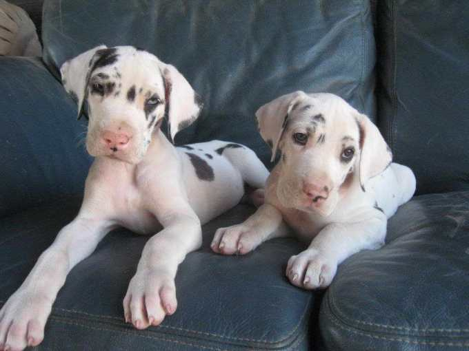 Great Dane Adoption Colorado