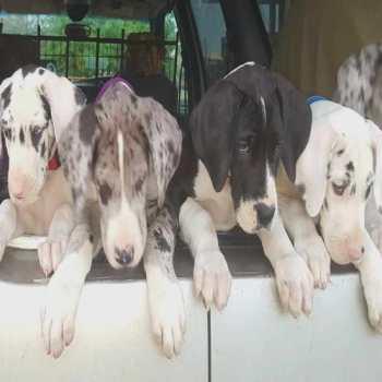 Great Dane Breeders In Oklahoma