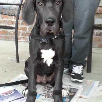 Great Dane Puppies Craigslist