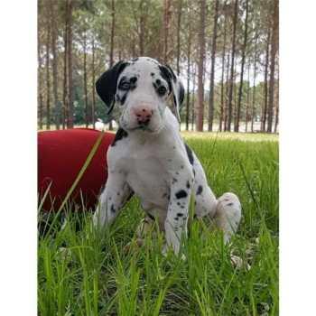 Great Dane Puppies Dallas Tx