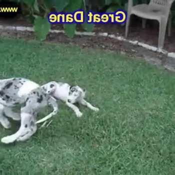 Great Dane Puppies For Sale Craigslist