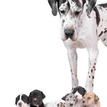 Great Dane Puppies Phoenix Az