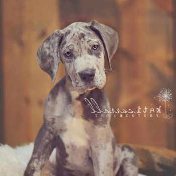 Great Dane Puppies Savannah Ga