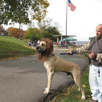 Great Dane Rescue Dogs