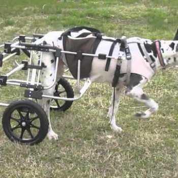 Great Dane Wheelchair