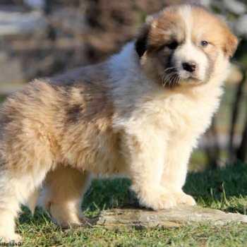 Great Pyrenees German Shepherd Mix Puppies For Sale