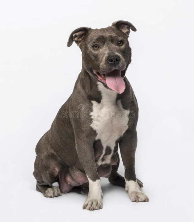 Grey American Staffordshire Terrier