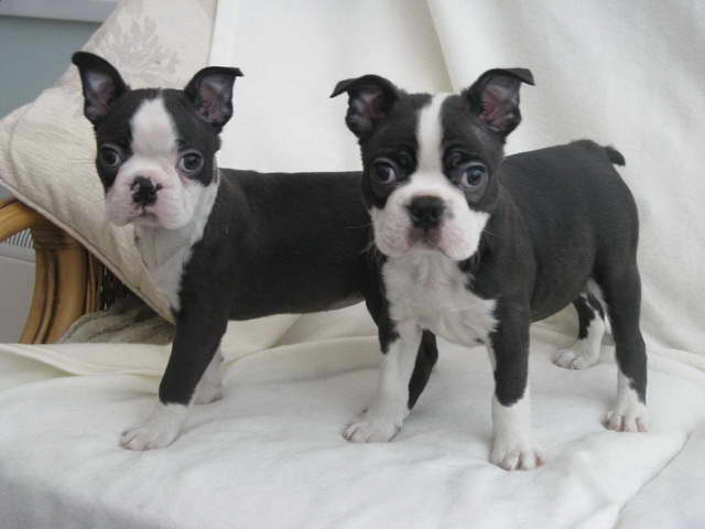 Grey Boston Terrier Puppies For Sale