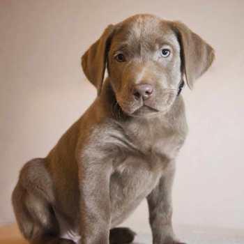Grey Labrador Retriever