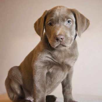 Grey Labrador
