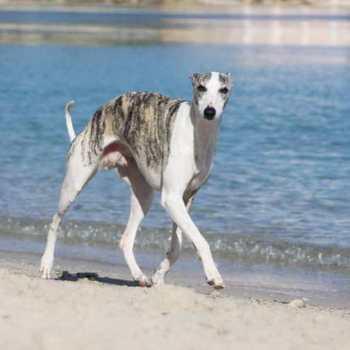 Greyhound Dog Speed