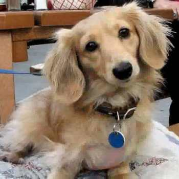 Grooming Long Haired Dachshund