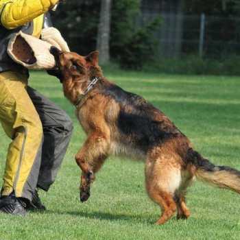 Guard Dogs German Shepherd