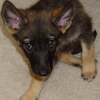 Half German Shepherd Half Chihuahua