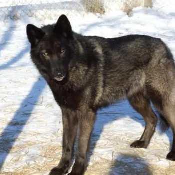 Half Wolf Half German Shepherd For Sale