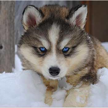 Half Wolf Half Husky Puppy