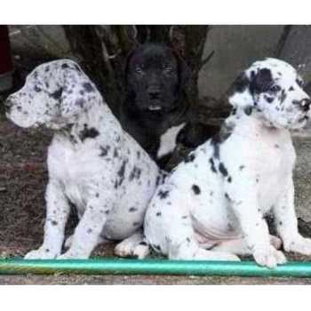 Harlequin Great Dane Puppies For Sale Mn