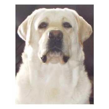Heartlands Quality Labrador Retrievers