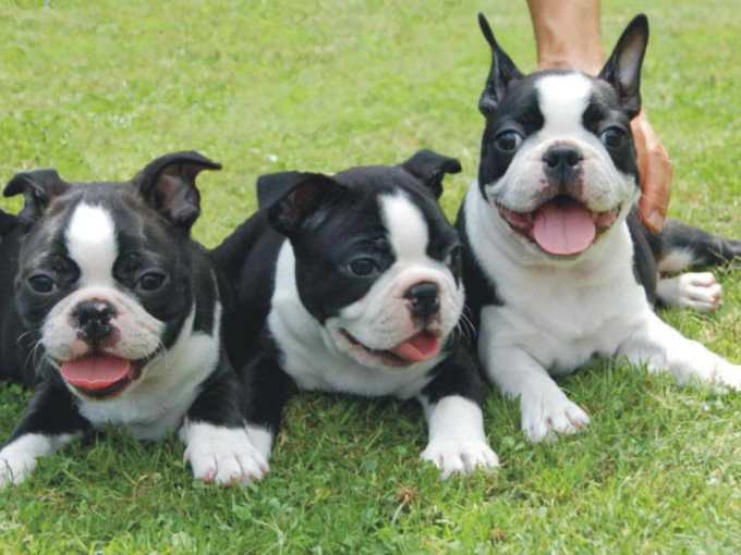Houston Boston Terrier Puppies