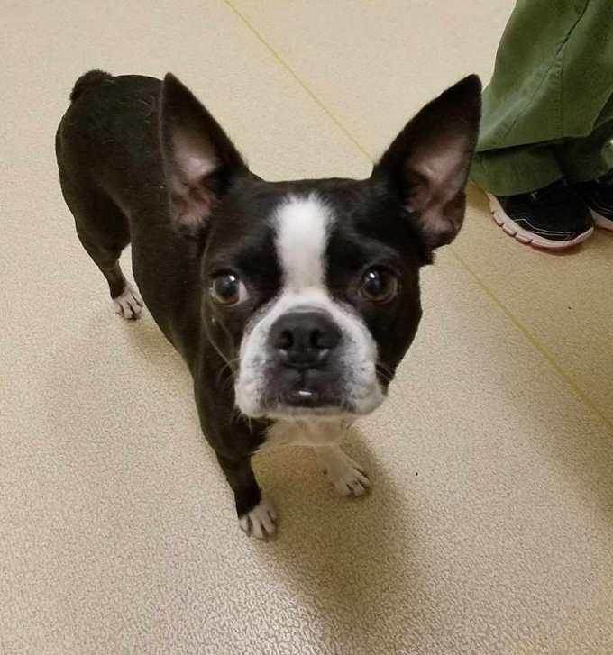 Houston Boston Terrier Rescue