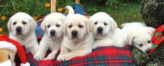 Houston Labrador Puppies
