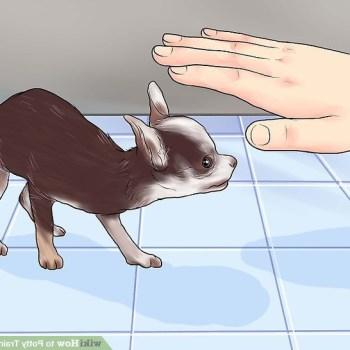 How Do You Potty Train A Chihuahua
