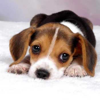 How Much Are Beagle Puppies