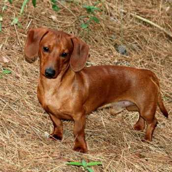 How Much Are Miniature Dachshund