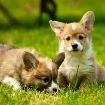 How Much Do Corgi Puppies Cost