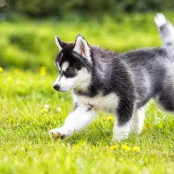 How Much Does Siberian Husky Puppies Cost