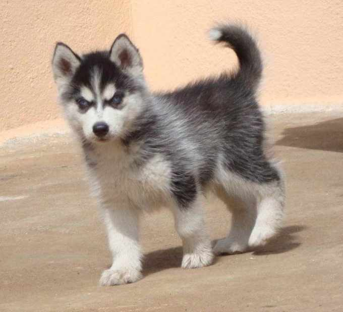 How Much Is A Husky Puppy Cost