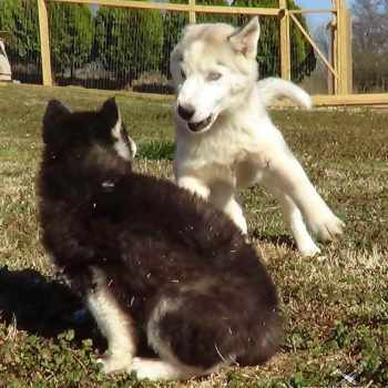 How Much Is A Husky Puppy Worth
