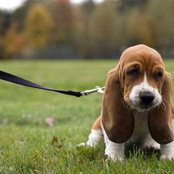 How To Care For A Basset Hound