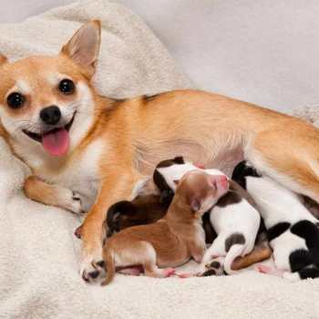 How To Help A Chihuahua Gave Birth