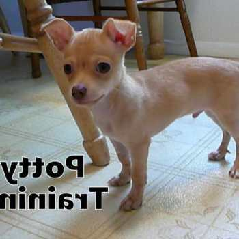 How To House Train A Chihuahua Puppy
