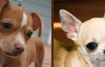 How To Make Chihuahua Ears Stand Up