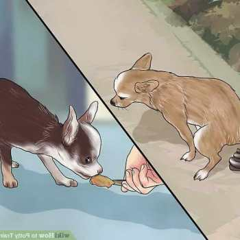 How To Potty Train An Older Chihuahua