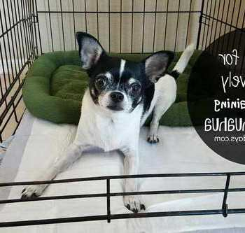 How To Potty Train Your Chihuahua