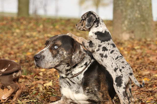 How To Train A Catahoula Puppy