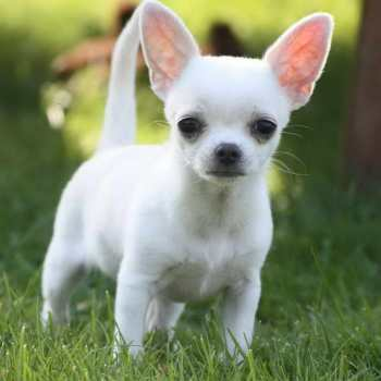 How To Train A Teacup Chihuahua