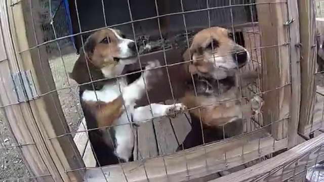 Hunting Beagle Kennels