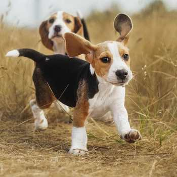 Hunting Beagle Names